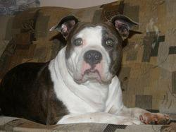 Foto 5 American Staffordshire Terrier