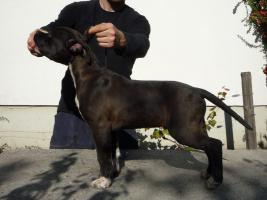 Foto 2 American Staffordshire Terrier Welpen von Champion Eltern zu verkaufen
