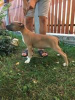 Foto 2 American Staffordshire Terrier Welpen zum Verkauf