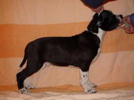 Foto 5 American Staffordshire Terrier Welpen zu verkaufen