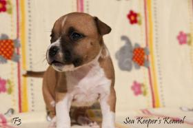 Foto 4 American Staffordshire Terrier Welpen zu verkaufen