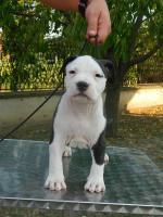 Foto 3 American Staffordshire Terrier Welpen zu verkaufen