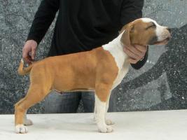 American Staffordshire Terrier Welpen zu verkaufen!