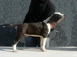 Foto 2 American Staffordshire Terrier Welpen zu verkaufen!