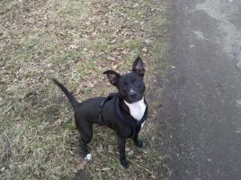 American Staffordshire Terrier abzugeben