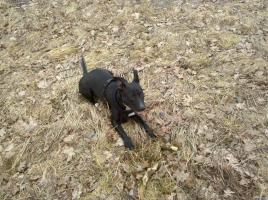 Foto 2 American Staffordshire Terrier abzugeben