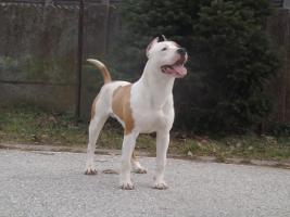 Foto 4 American Staffordshire Terrier zu verkaufen