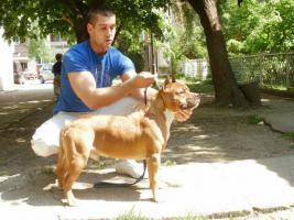 Foto 2 American Staffordshire Terrier zwei tolle R�den zu verkaufen