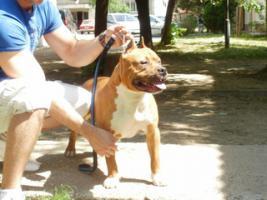 Foto 3 American Staffordshire Terrier zwei tolle R�den zu verkaufen