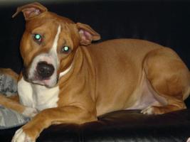 American Staffordshire Terrier , Amstaff Pitbull Deckrüde