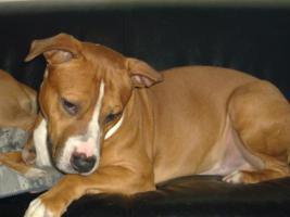 Foto 2 American Staffordshire Terrier , Amstaff Pitbull Deckrüde