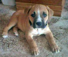 Foto 2 American Staffordshire Terrier  Welpen zu verkaufen