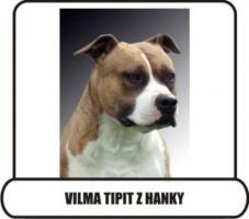 Foto 2 American Staffordshire Terrier  zu verkaufen