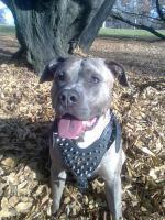Foto 2 American Staffordshire / Pitbull Terrier Welpen