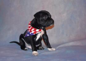 Foto 2 American hairless terrier