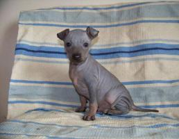 Foto 4 American hairless terrier