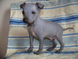 Foto 5 American hairless terrier