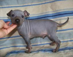 Foto 6 American hairless terrier