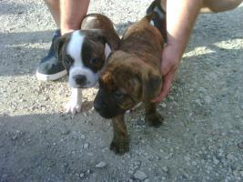 Amerikanische Bulldoggen Welpen zu Verkaufen
