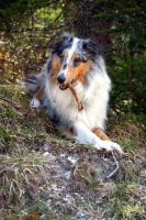 Foto 4 Amerikanische Collie Welpen in tricolor...