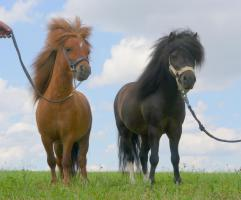 Foto 2 Amerikanische Miniaturpferde