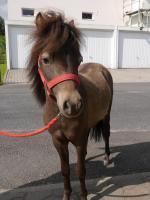 Foto 5 Amerikanische Miniaturpferde