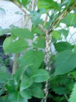 Foto 3 Amorphophallus titanum / Pflanze