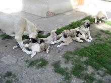 Foto 2 Anatolischer Hirtenhund