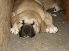 Foto 3 Anatolischer Hirtenhund