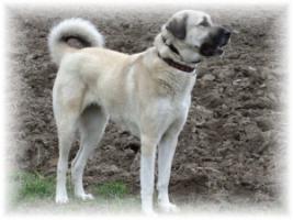Foto 5 Anatolischer Hirtenhund