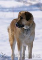 Anatolischer Hirtenhund – Kangal