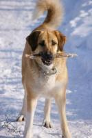 Foto 2 Anatolischer Hirtenhund – Kangal