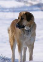 Foto 3 Anatolischer Hirtenhund FCI Welpen