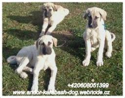 Foto 2 Anatolischer Hirtenhund Welpen