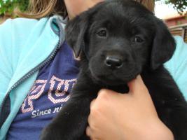 Angebot Welpen schwarz Labrador Retriever mit PP