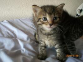 Angora-Kätzchen