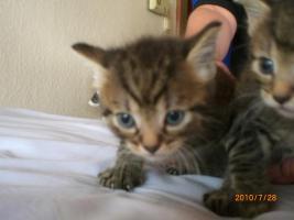 Foto 2 Angora-Kätzchen