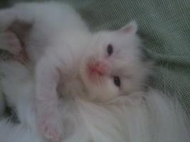 Foto 2 Angora (t�rkische van) -maine coon mix kitten