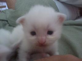 Foto 5 Angora (t�rkische van) -maine coon mix kitten