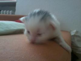 Foto 6 Angora (t�rkische van) -maine coon mix kitten