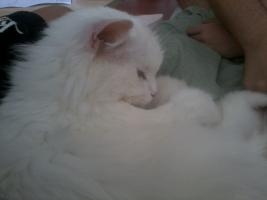 Foto 11 Angora (t�rkische van) -maine coon mix kitten