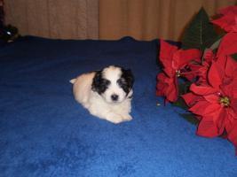 Foto 2 Antidepresiver Hund - Coton de Tul�ar