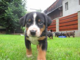Foto 2 Appenzeller Sennenhund mit Papiere
