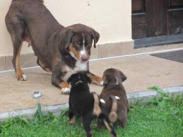 Foto 3 Appenzeller Sennenhund mit Papiere