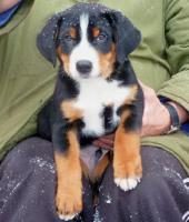 Foto 2 Appenzeller Sennenhund Welpe mit Papiere