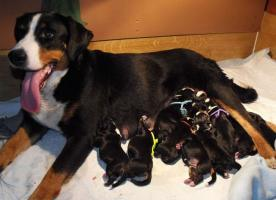 Appenzeller Sennenhund Welpen FCI