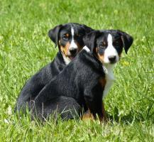 Foto 2 Appenzeller Sennenhund Welpen mit FCI Stammbaum