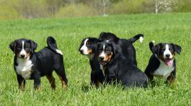 Foto 3 Appenzeller Sennenhund Welpen mit FCI Stammbaum