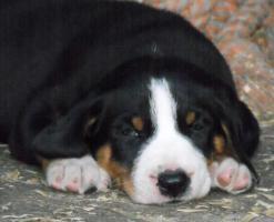 Appenzeller Sennenhund Welpen mit Pap. Abnahme sofort