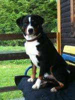 Foto 3 Appenzeller Sennenhund Welpen mit Papiere